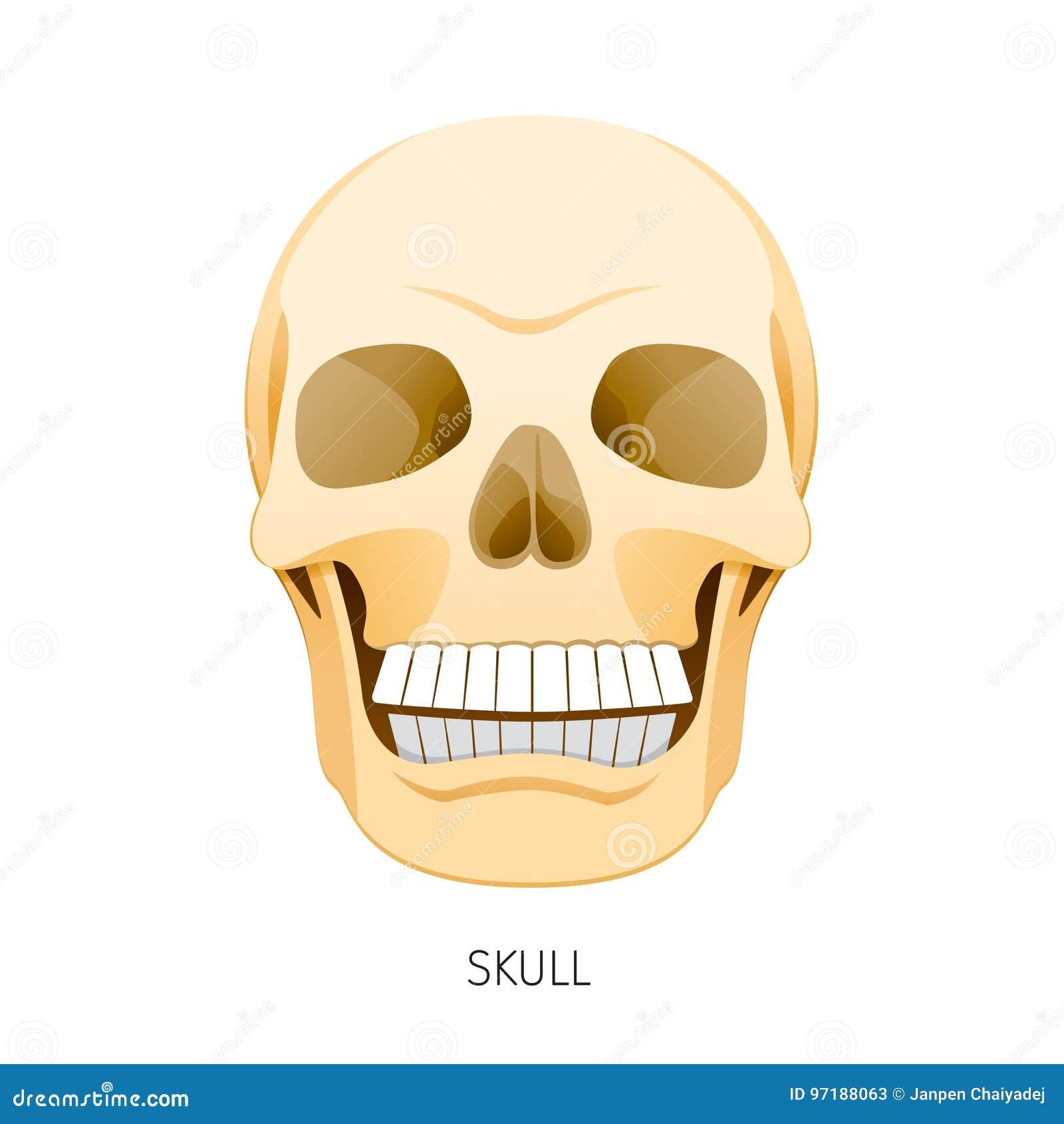 Skull, Human Internal Organs Organ Diagram Stock Vector ...