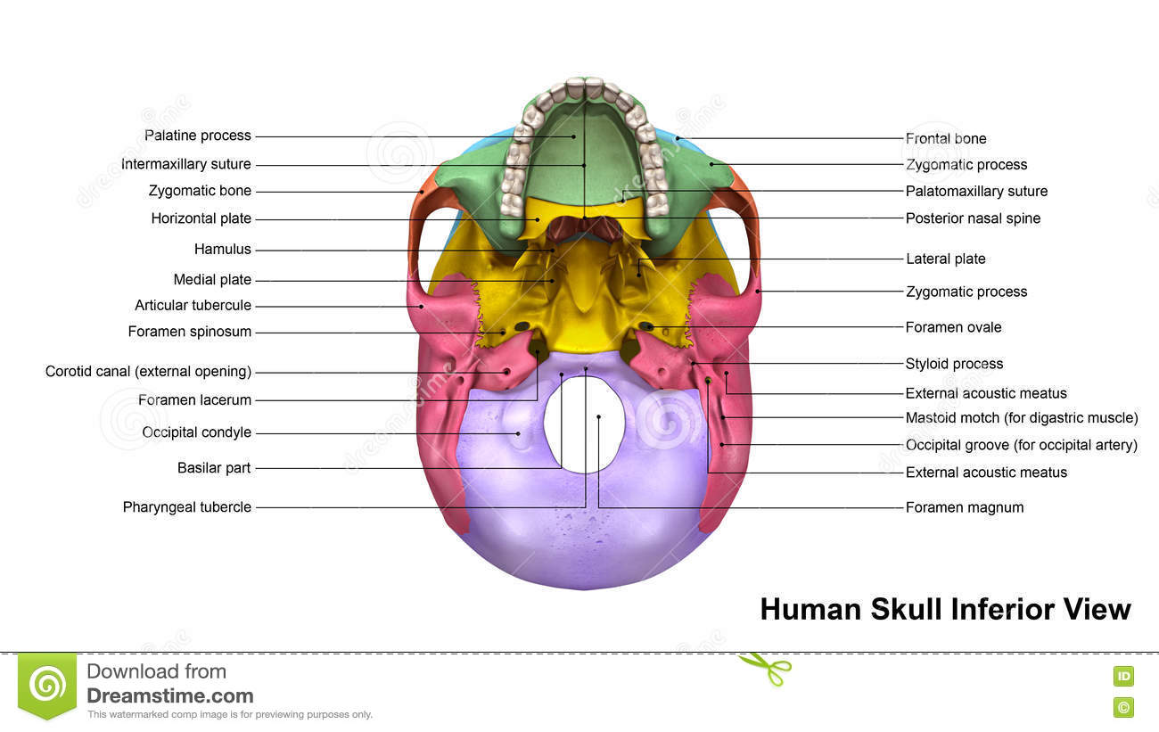 skull inferior view collection bones protects all important brain supports other soft tissues head 76446060
