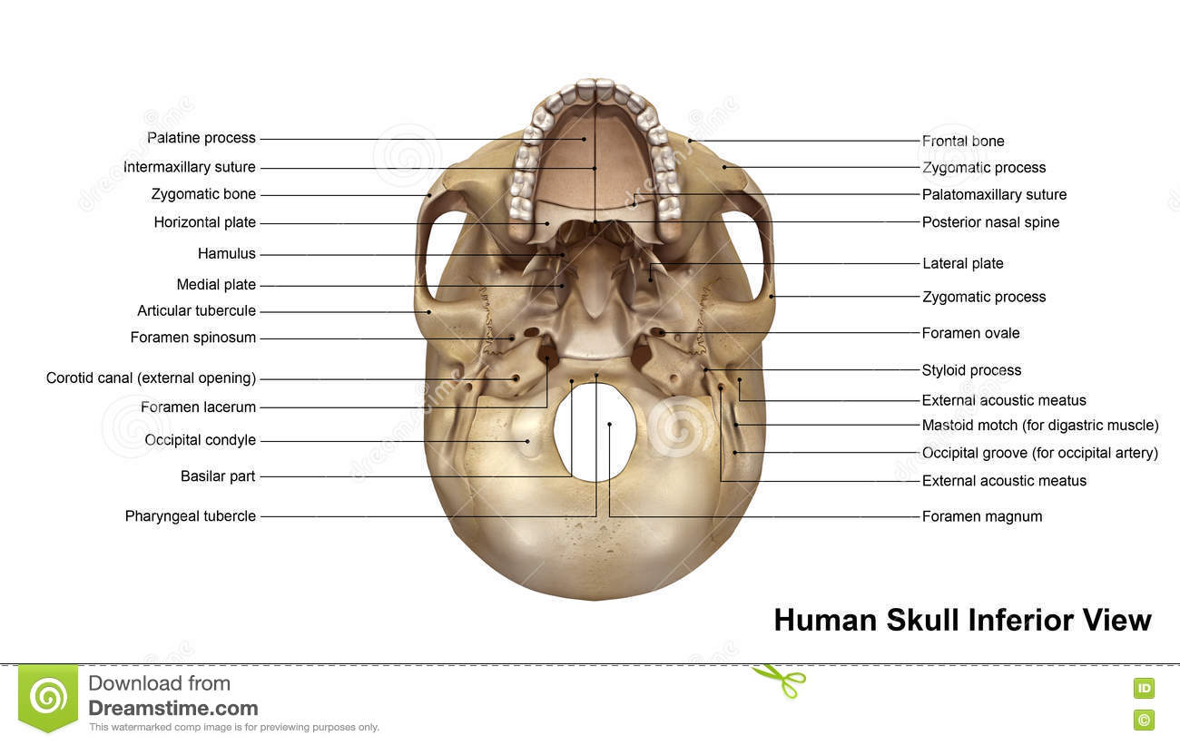 Inferior Skull Labeled