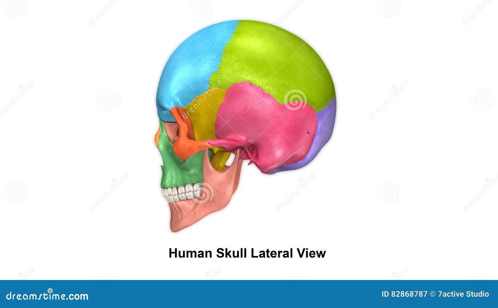 Skull Lateral View Stock Illustration Illustration Of Cranium