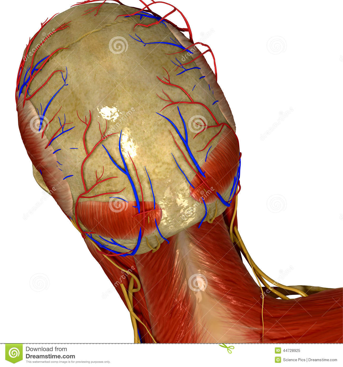 Skull With Muscles And Nerves Back View Stock Illustration ...