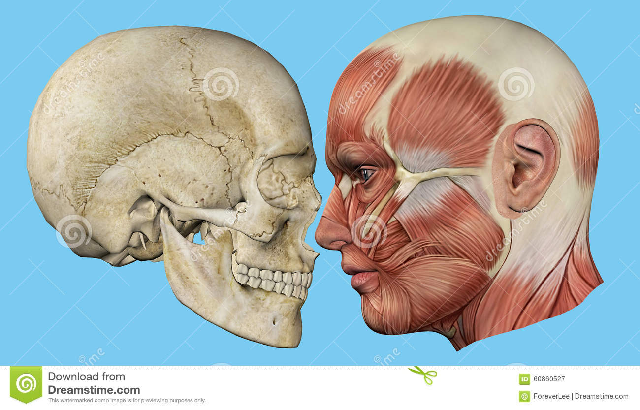 Skull and Muscles Profile stock illustration. Illustration of ...