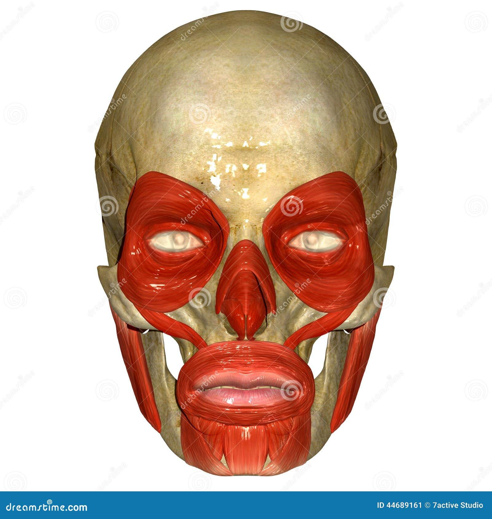 Skull Orbicularis Stock Illustrations 43 Skull Orbicularis Stock