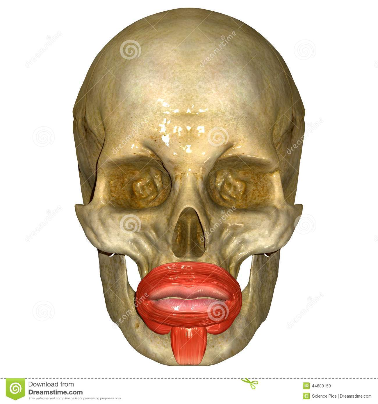 skull with orbicularis oris muscle stock illustration - image, Human body