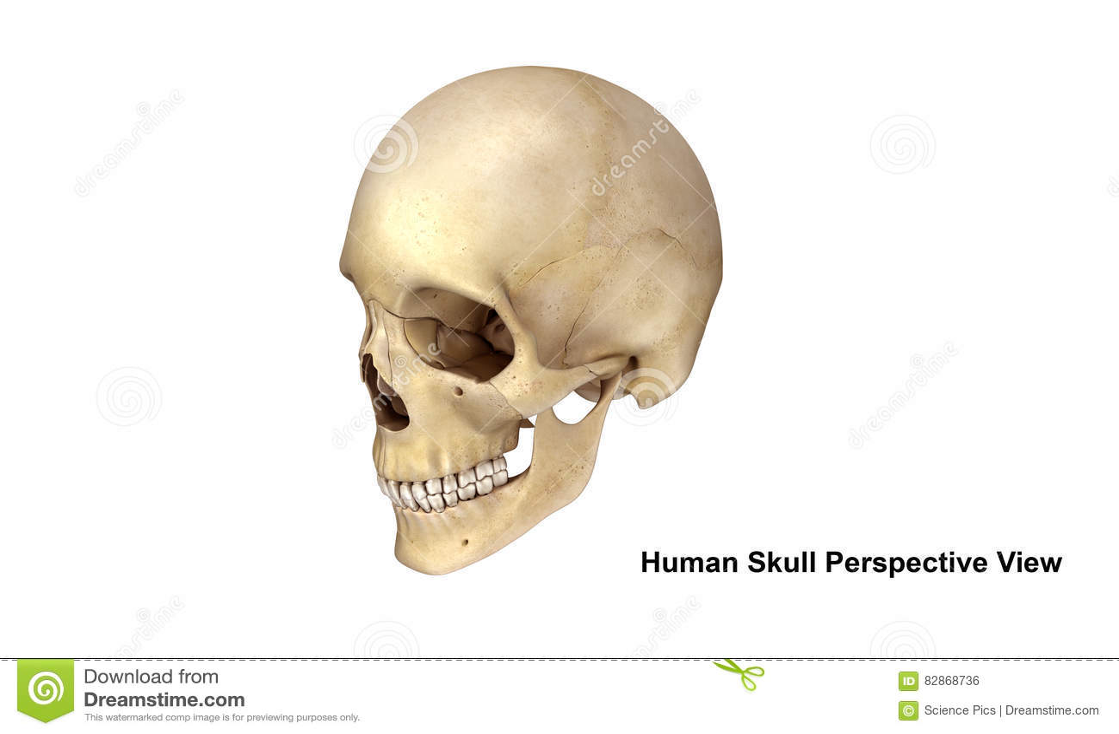 Skull Perspective View Stock Illustration Illustration Of Fetal