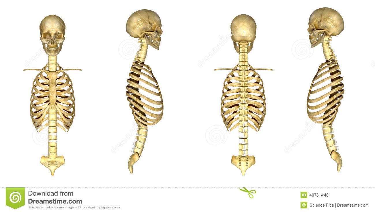 Stock Illustration Skull Ribcage Human Bony Structure Head Skeleton Which Supports Structures Face Forms Image48761448