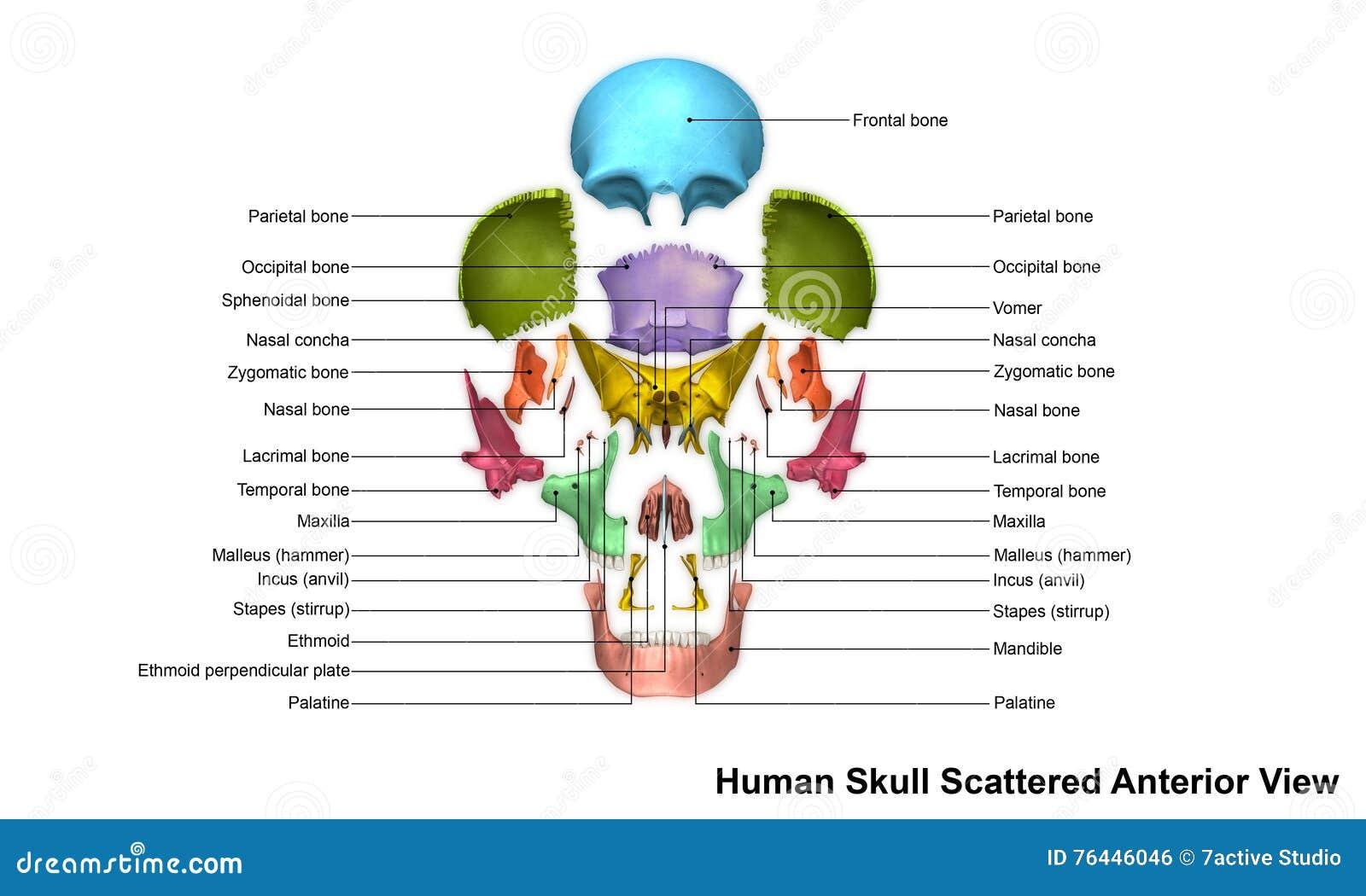 Skull Scattered Anterior View Stock Illustration Illustration Of