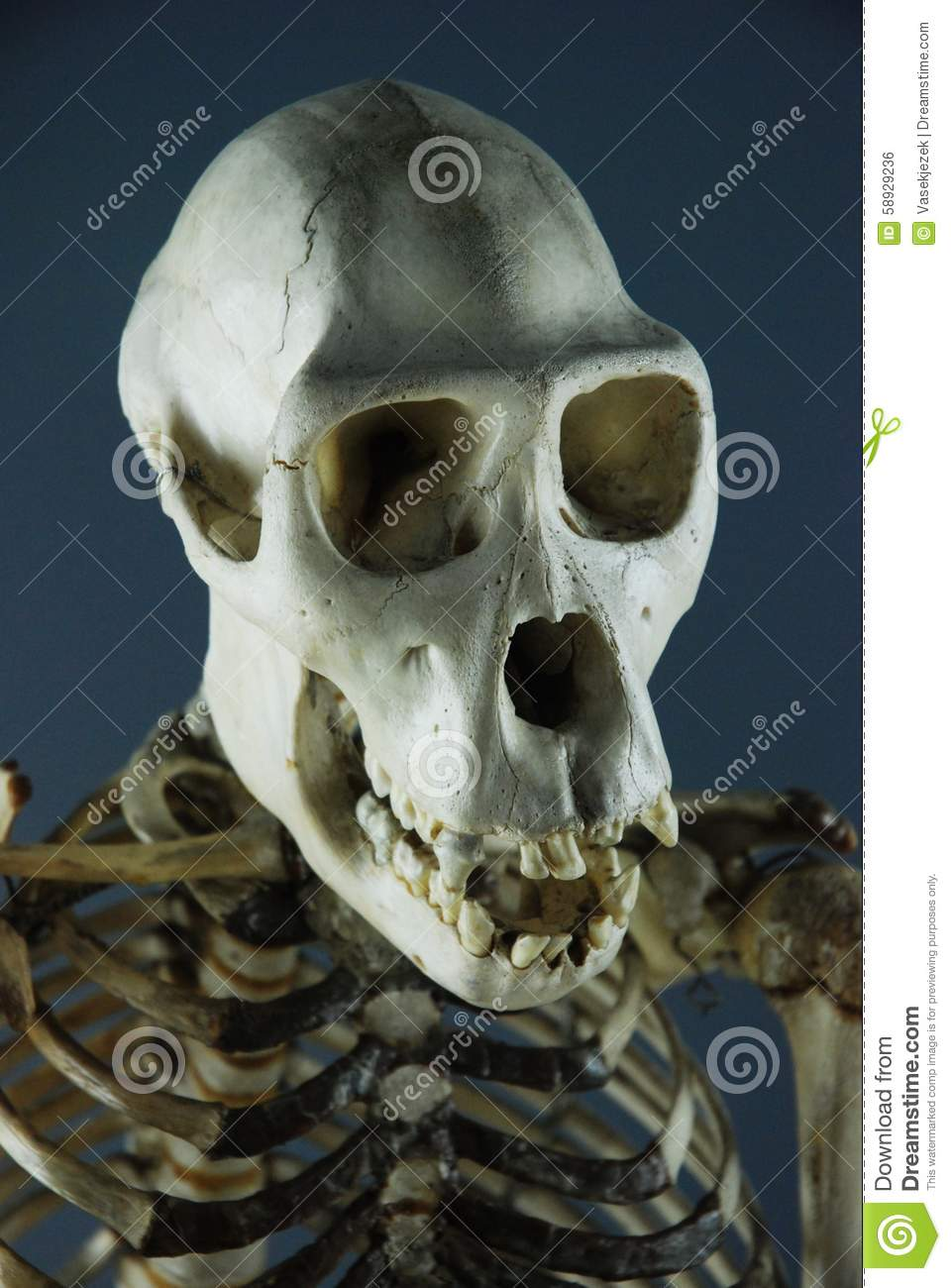 skull and skeleton of a primate stock photo image 58929236