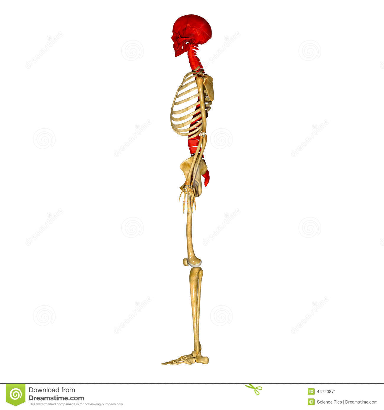 Skull with spinal cord stock illustration. Illustration of health ...