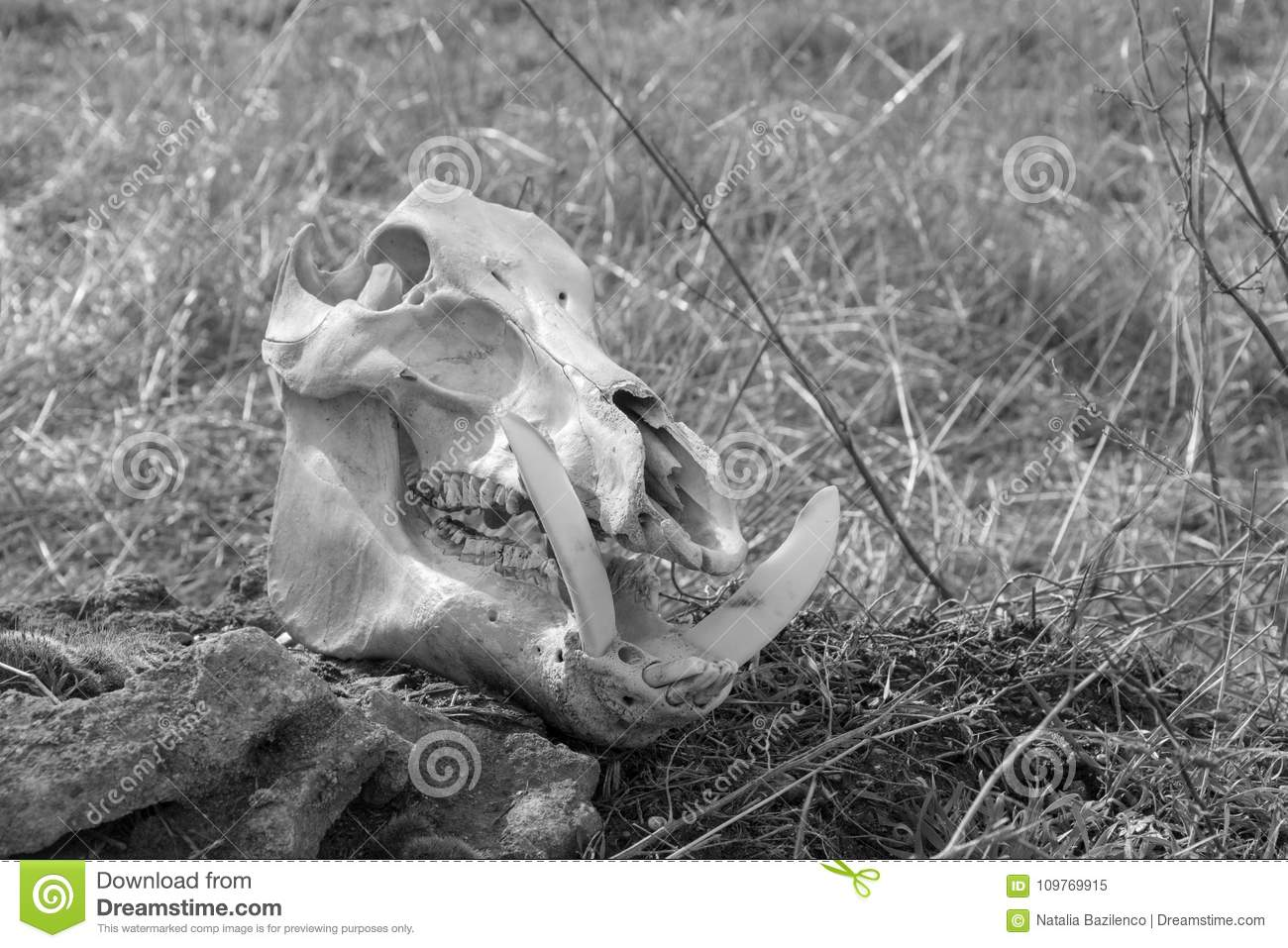 Skull Of A Wild Boar On A Dry Grass Background Stock Image - Image ...