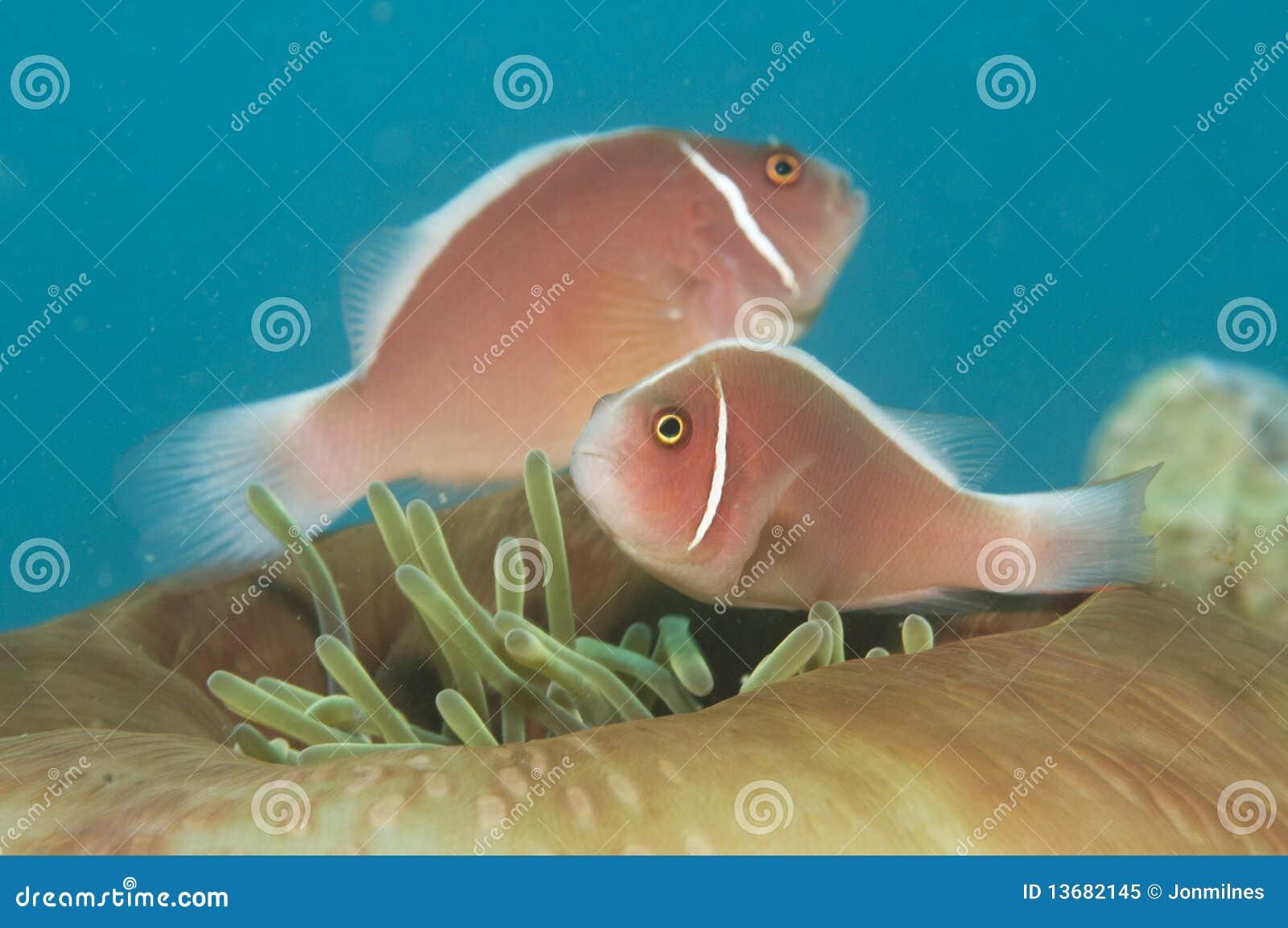 Skunk anemone fish,(Amphiprion perideraion)