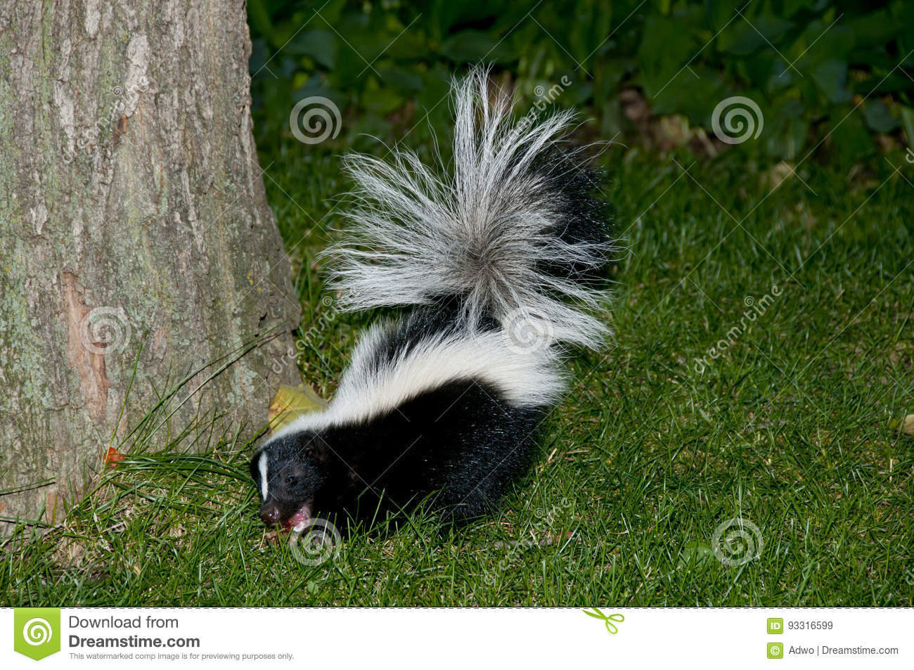 Skunk In Backyard skunk in backyard grass stock image. image of night, animal - 93316599