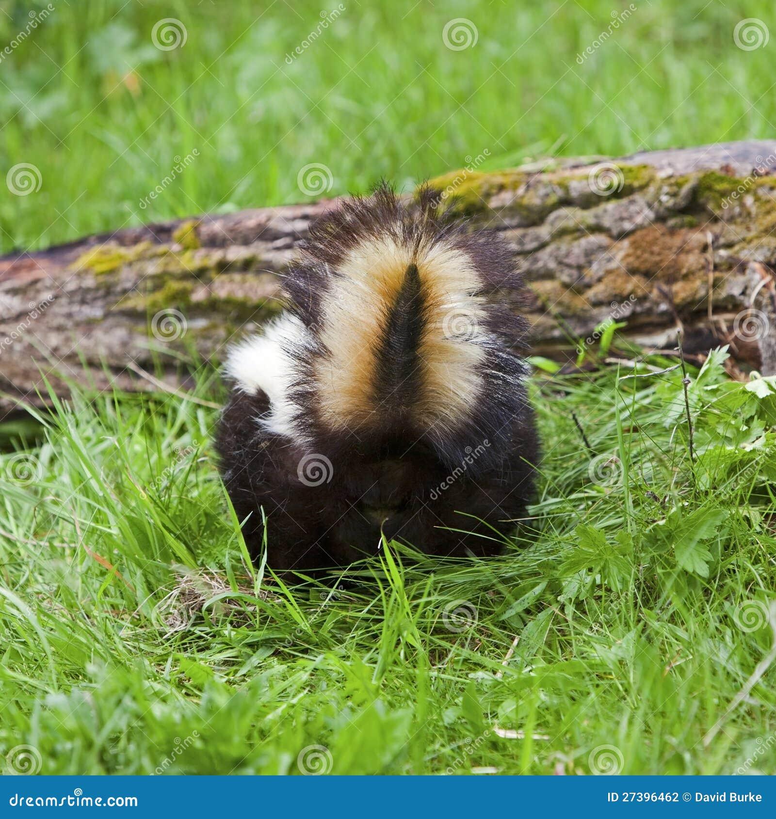 Skunk Tail End Log Grass Defensive Stock Photo Image Of Hog