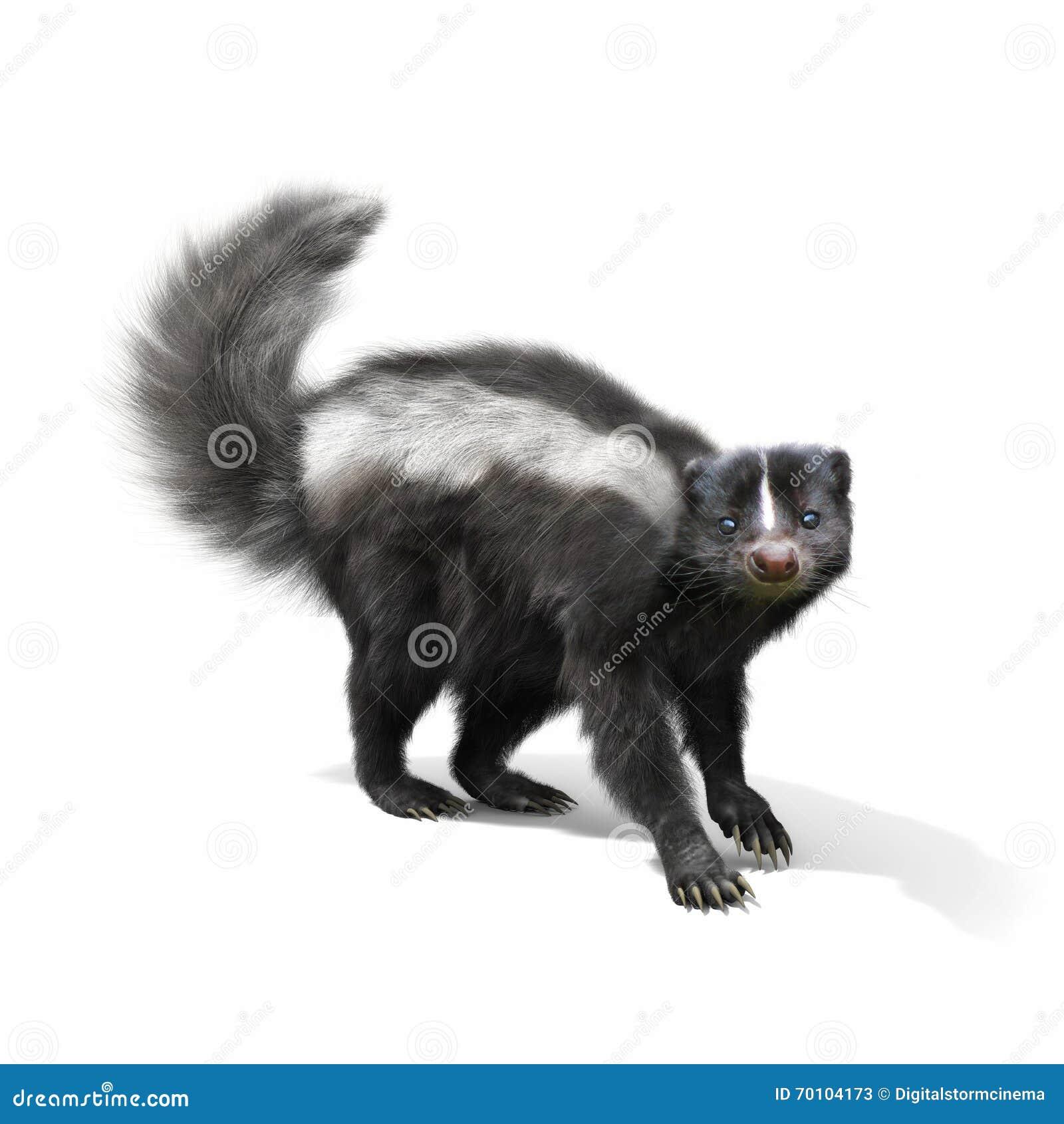 skunk on a white background stock illustration image 70104173