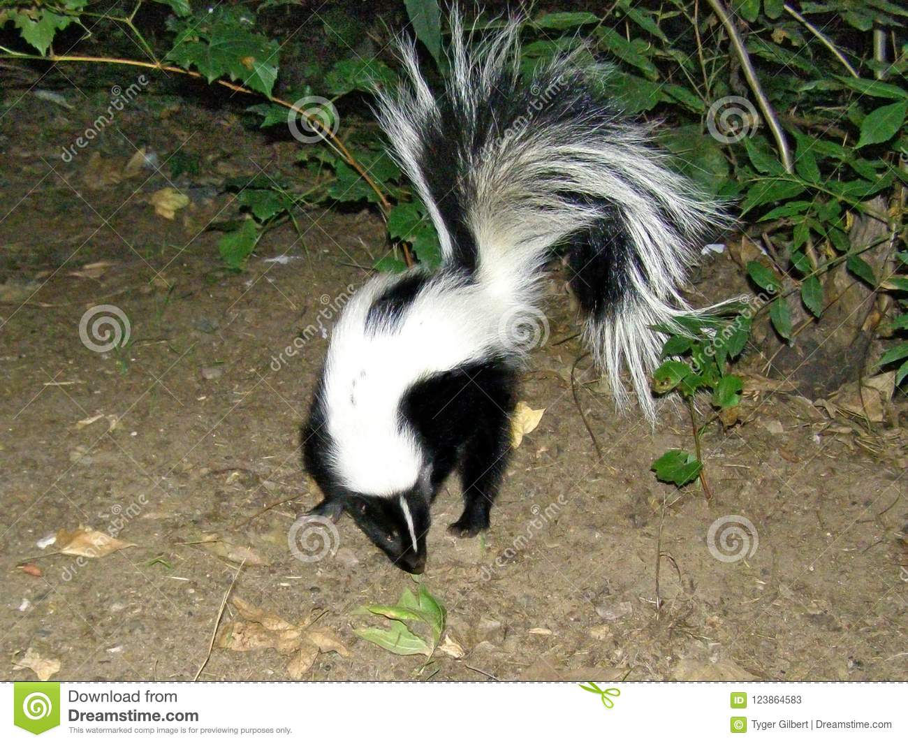 A Skunks Visits Camp in Oak Creek Canyon