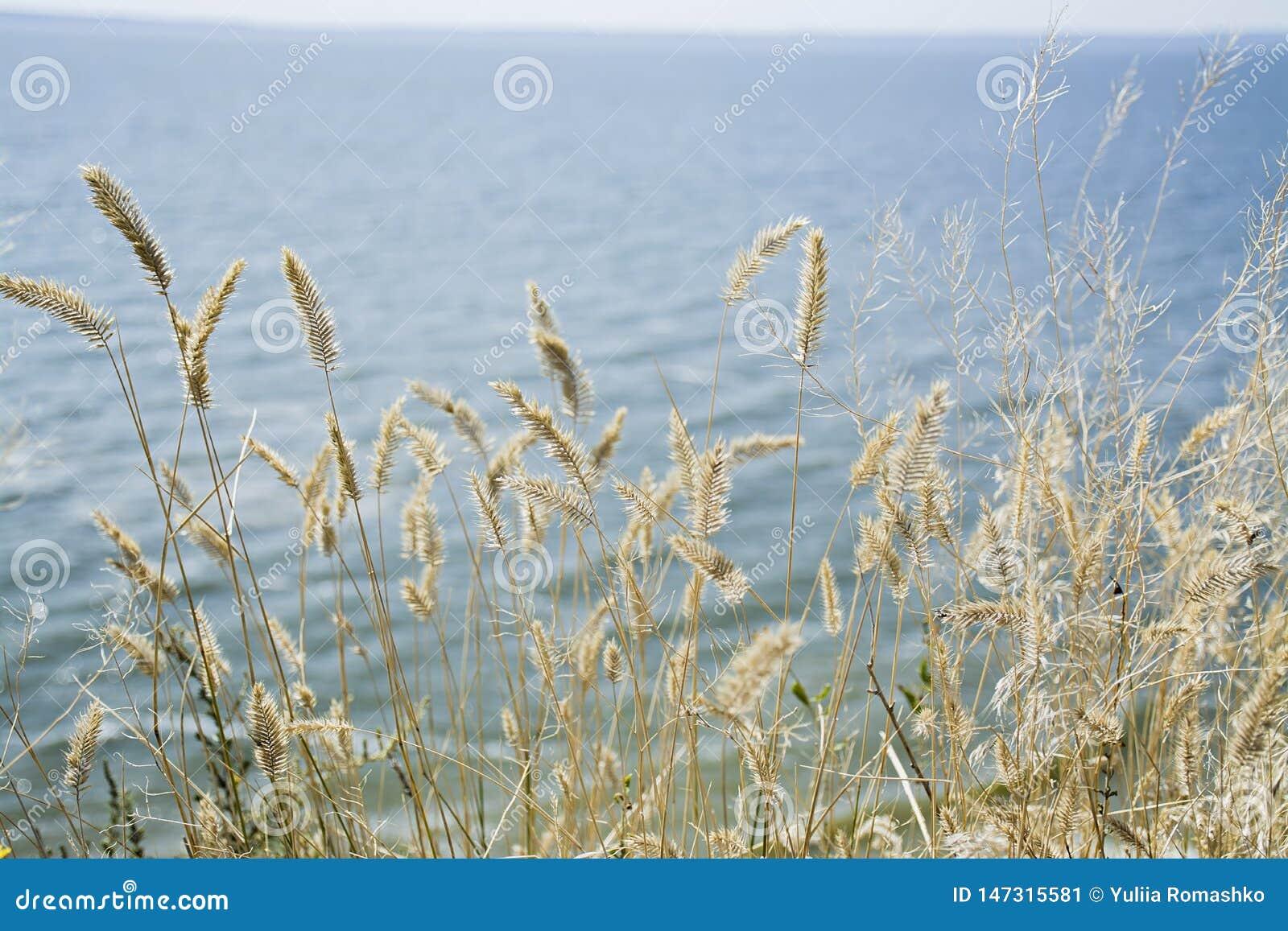Skupia si? suchej trawy, zamazany morze na tle, kopii przestrze? Natura, lato, trawy poj?cie