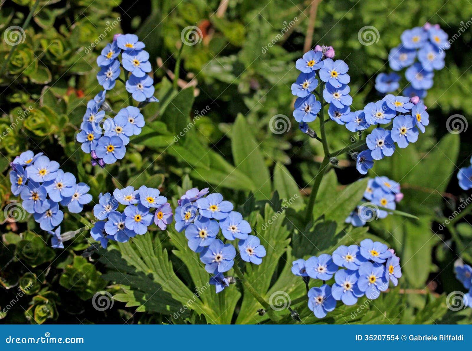 Forget-me-not Flower Myosotis Alpestris Growing Wild In Woodland ...