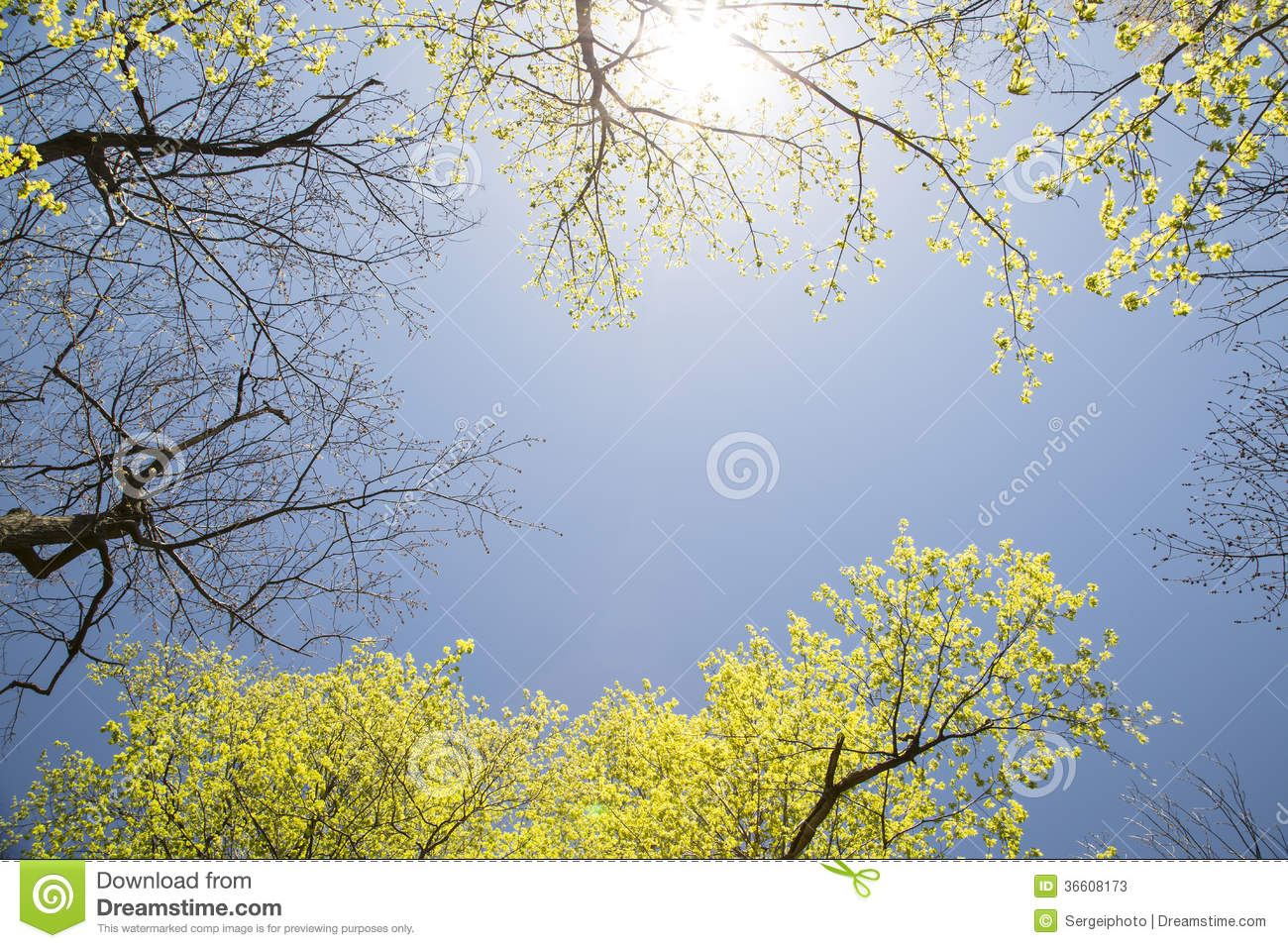 Sky and Maple Trees