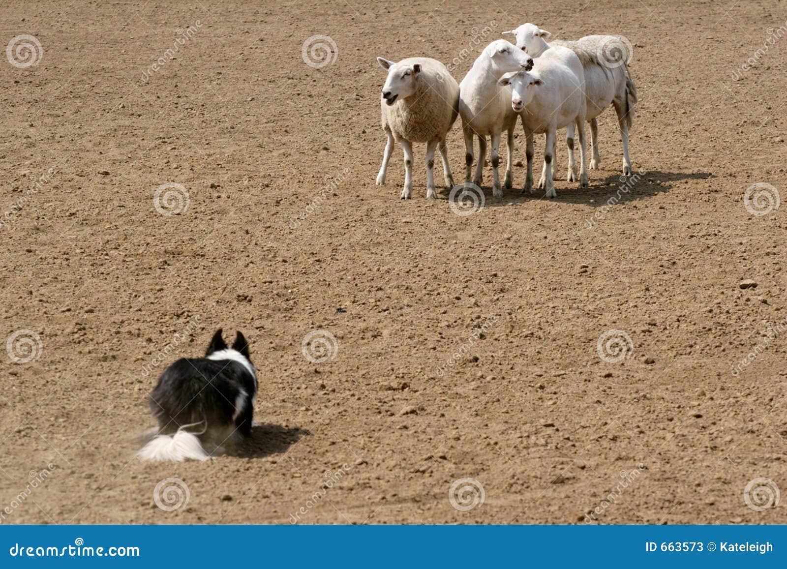 Skydd av får