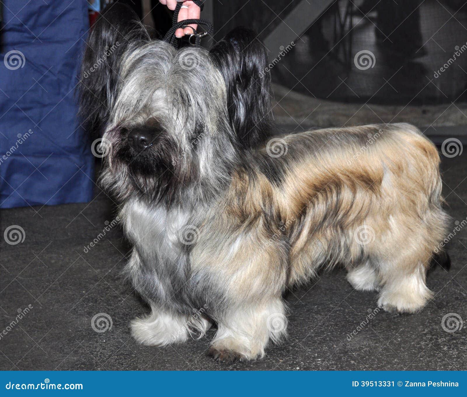 Skye Terrier dog exhibition