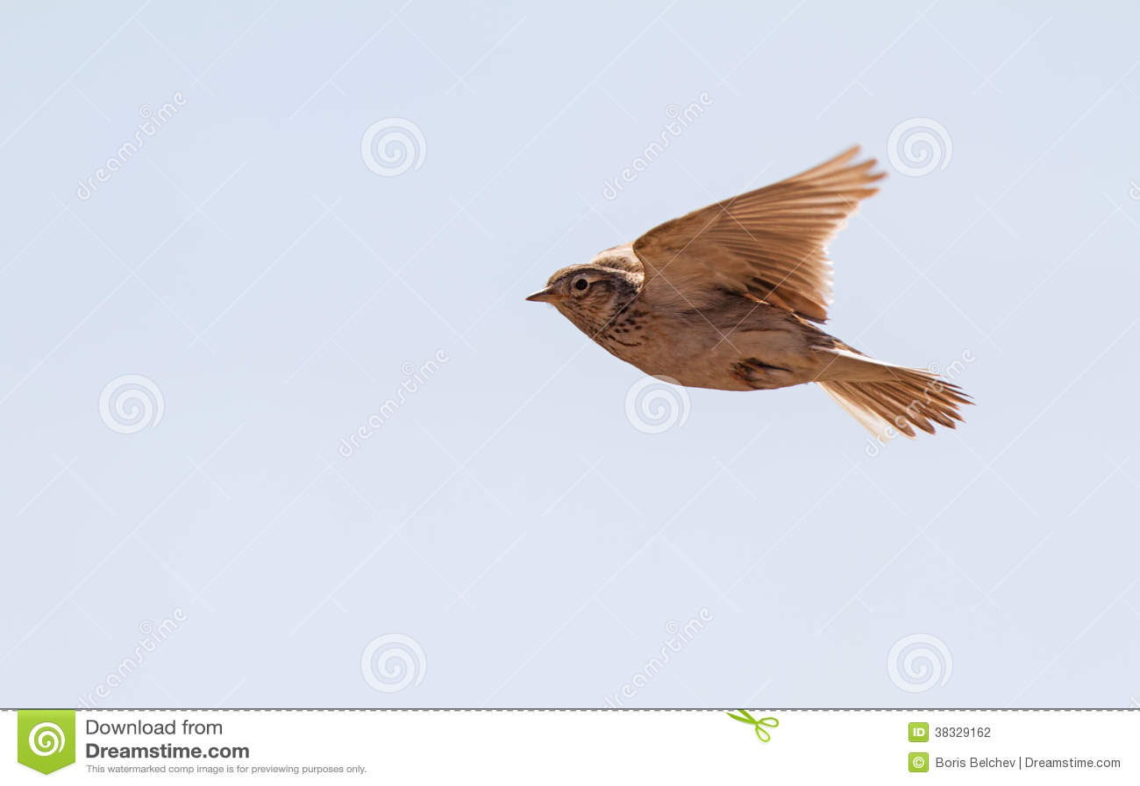 Skylark over the meadow