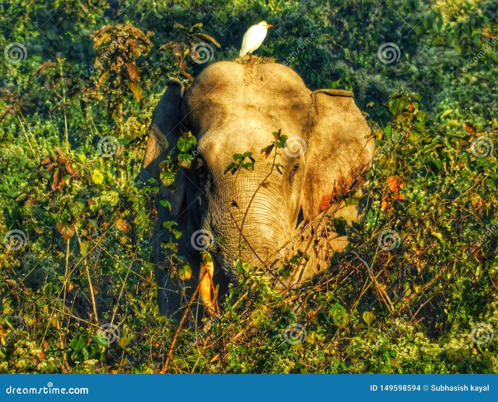 Sl?kt foto f?r djurliv djurlivkamratskap Elefant och f?gel