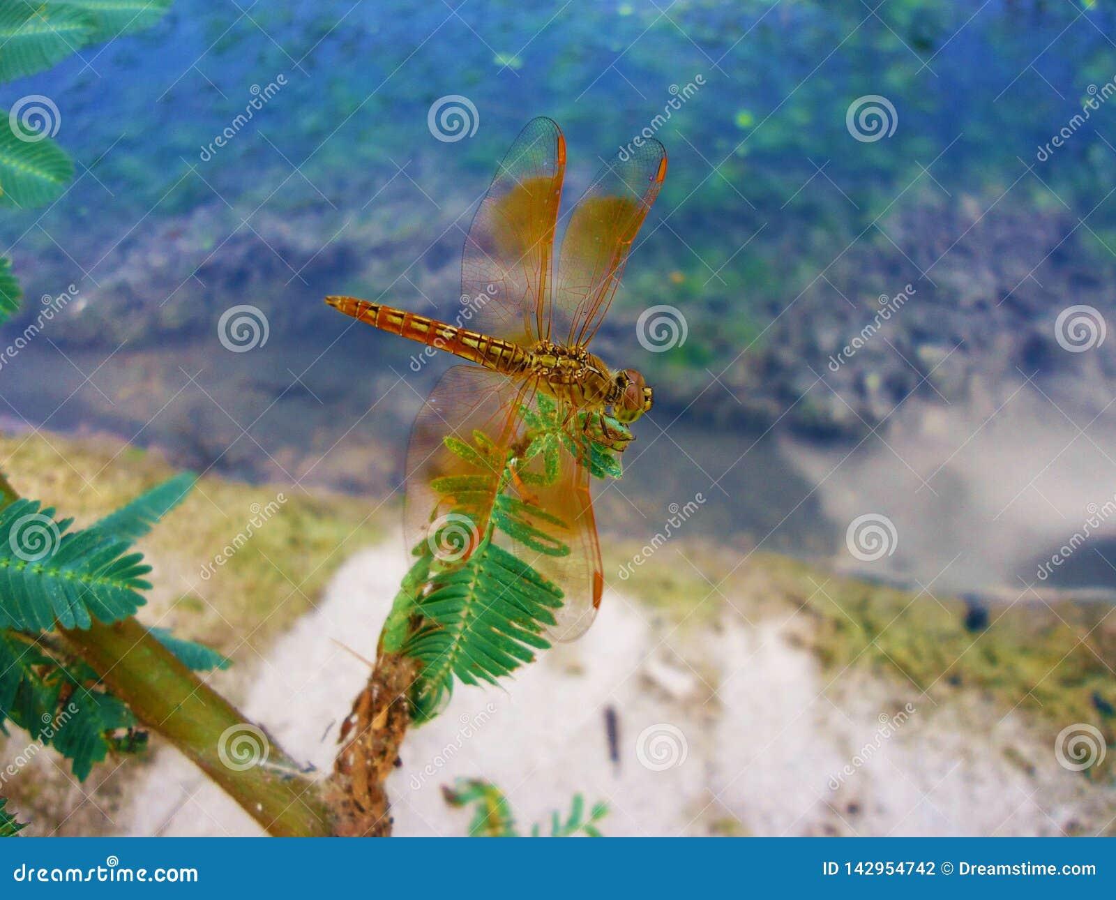 Slända Dragonflys