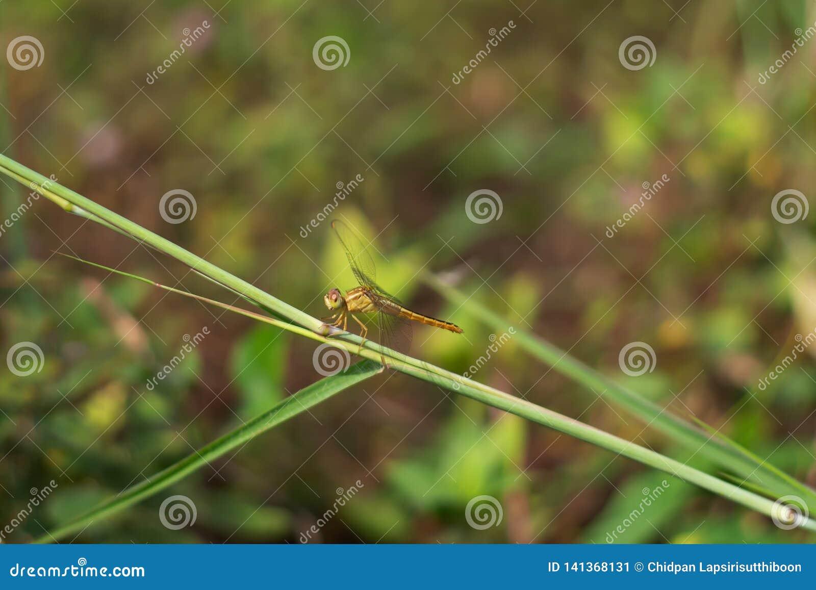Sländan orange stammar hänger på gräset, på gräsbakgrunden