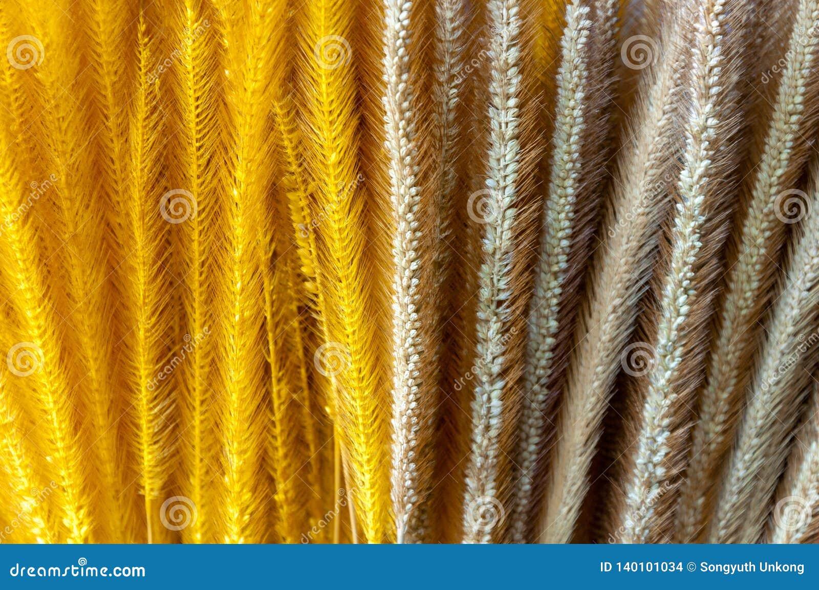 Slätt och gul färg som färgas av den torra Pennisetumgräsblomman
