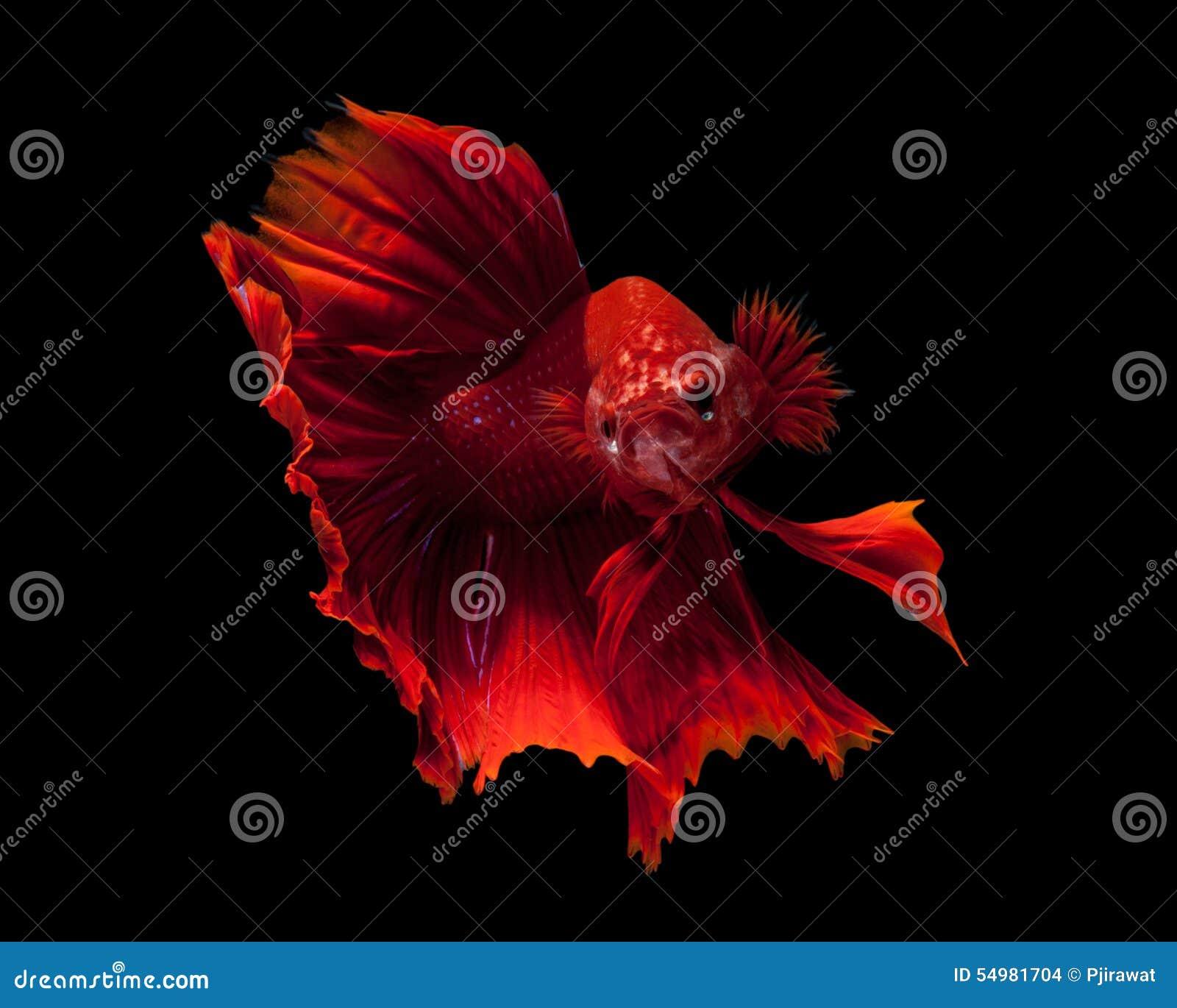 Slåss rött siamese för fisk