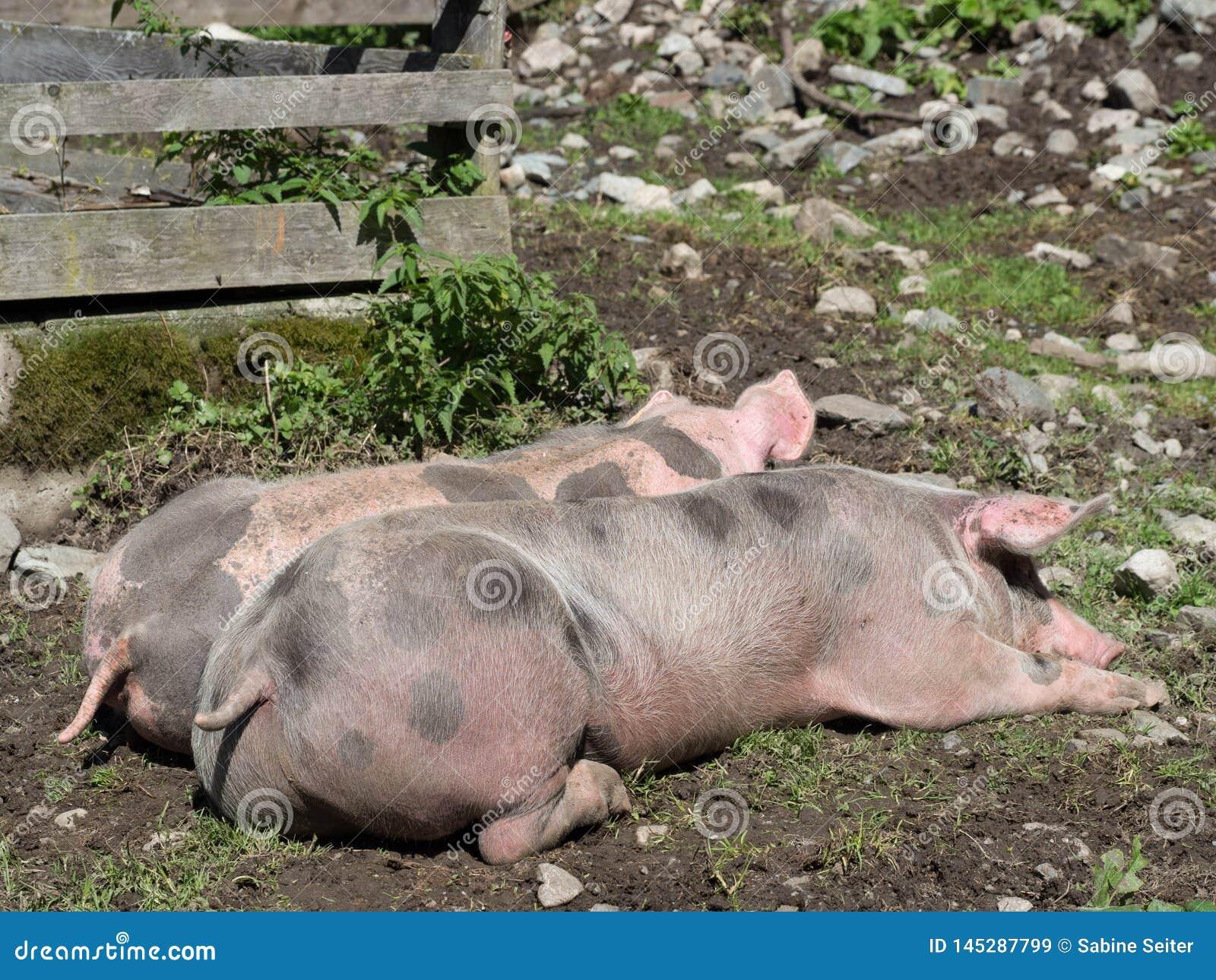 Slaapvarkens op weiland