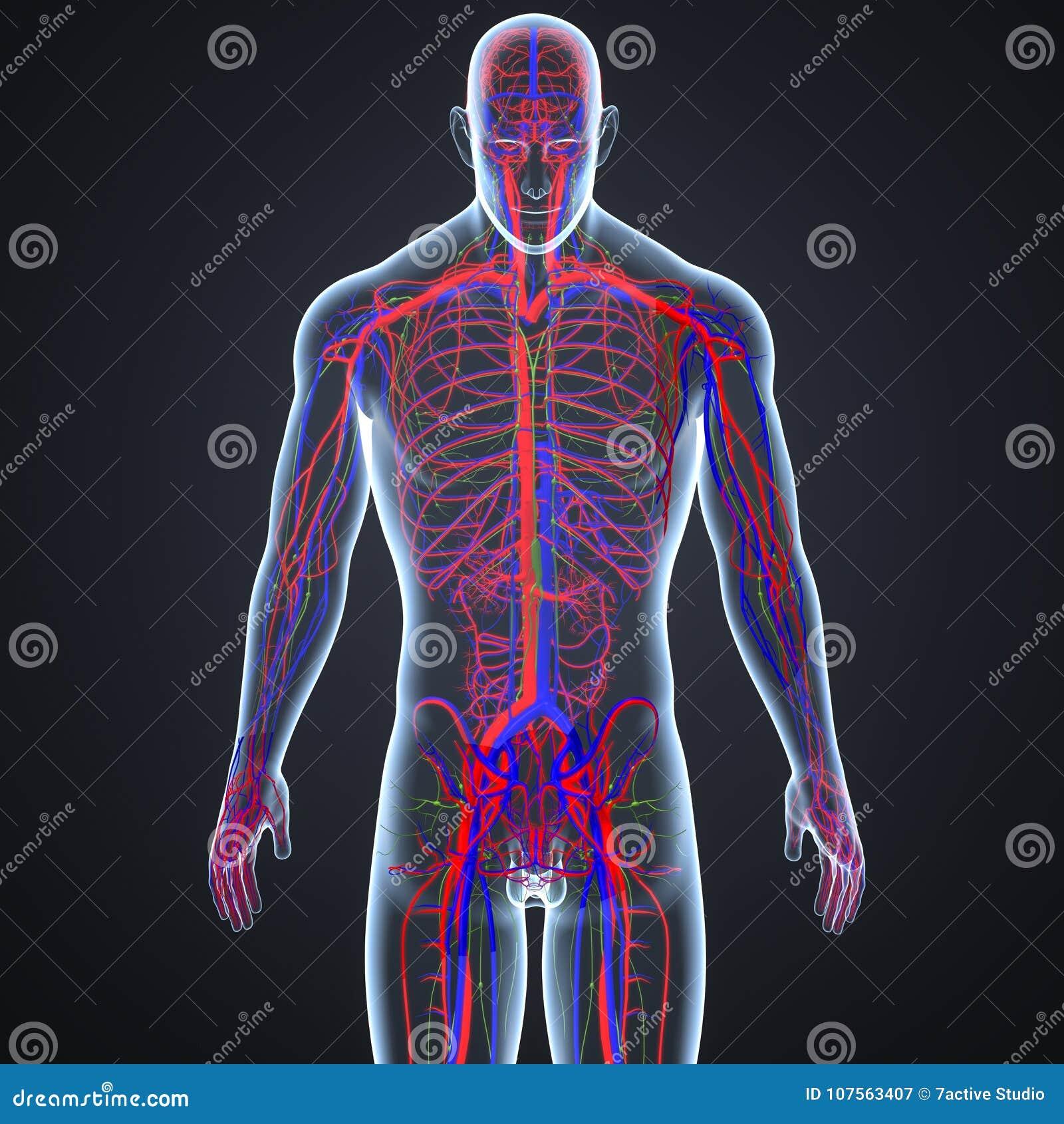 Slagaders, Aders en lymfeknopen in Menselijk Lichaams Voorafgaande mening