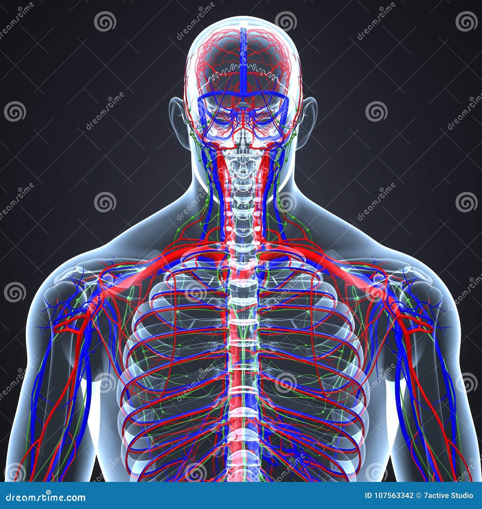 Slagaders, Aders en lymfeknopen met de Menselijke Latere mening van het Skeletlichaam