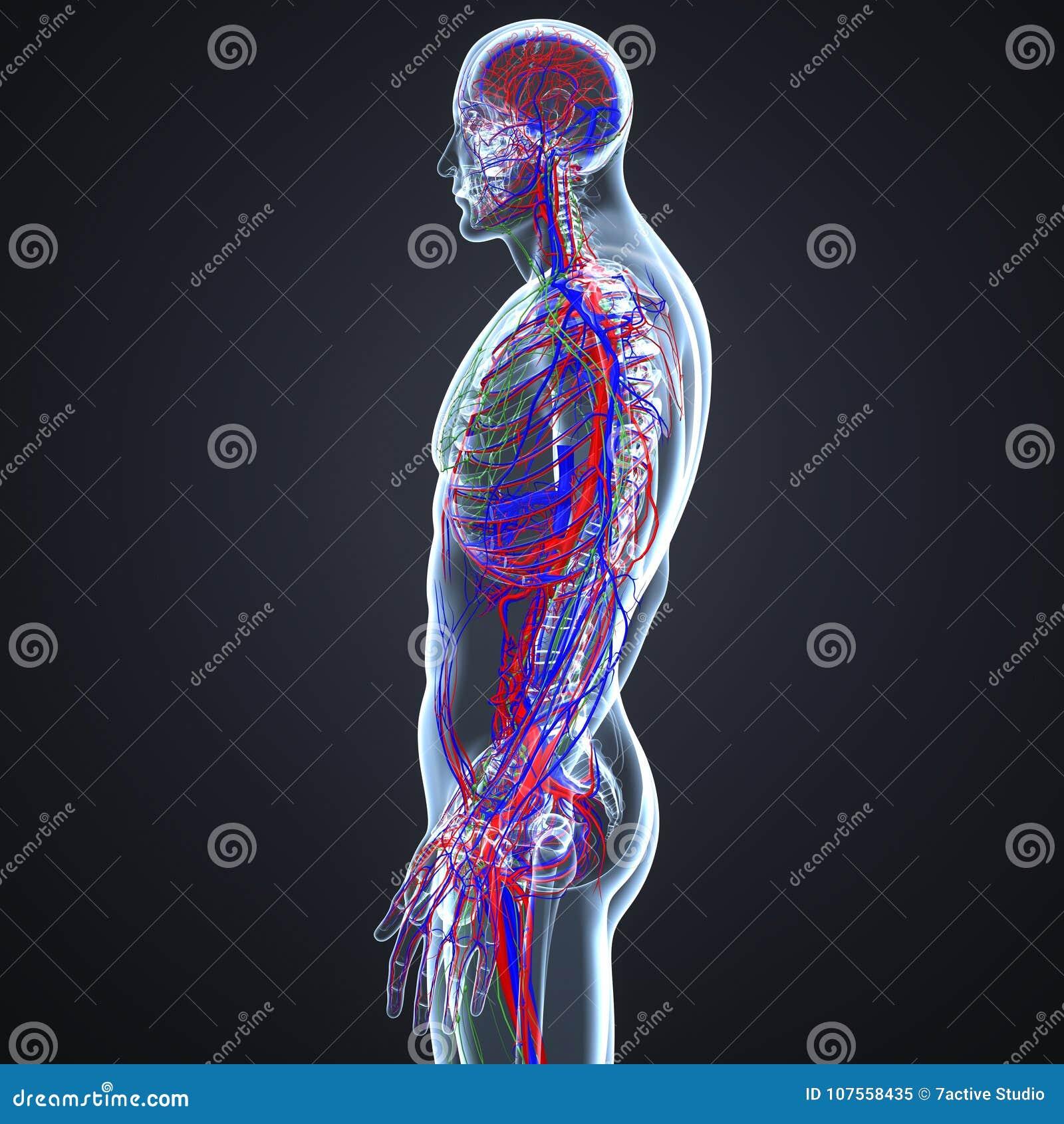 Slagaders, Aders en lymfeknopen met Skeletlichaam