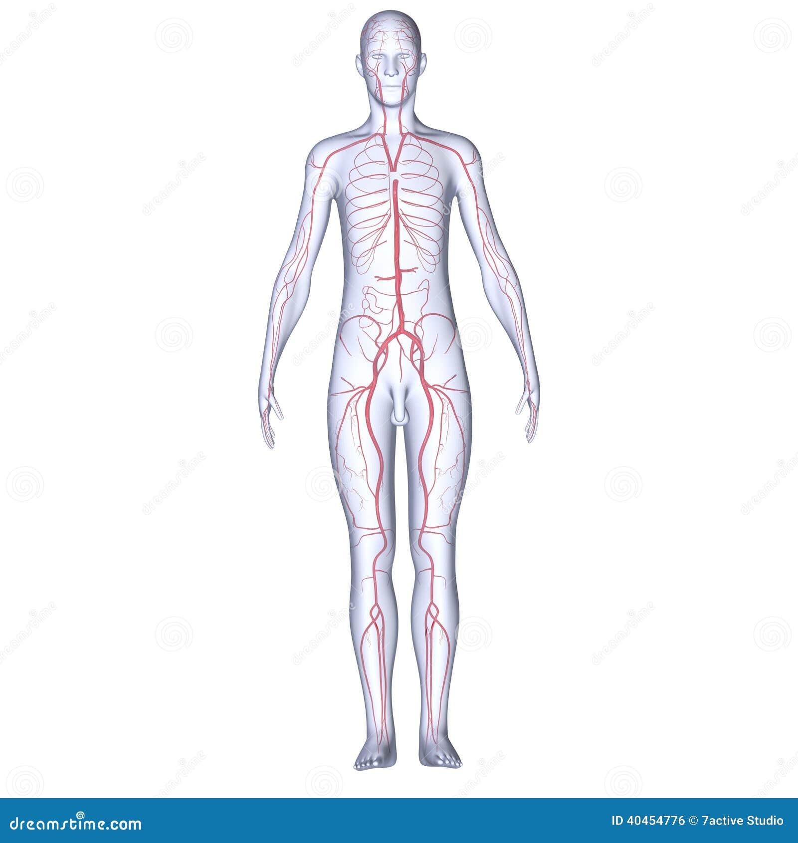 Slagaders met lichaam