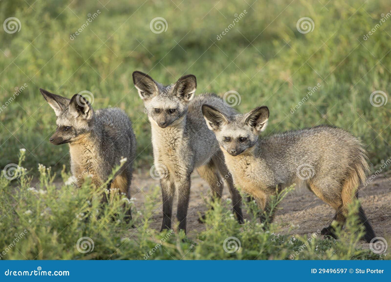 Slagträ-gå i ax rävar (Otocyon megalotis) Tanzania