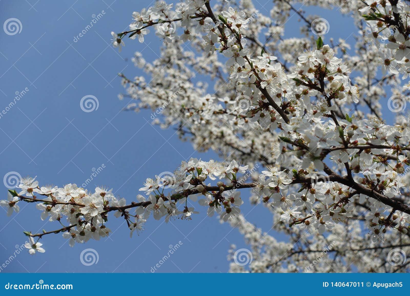 Slanted branch of blossoming Prunus cerasifera against blue sky
