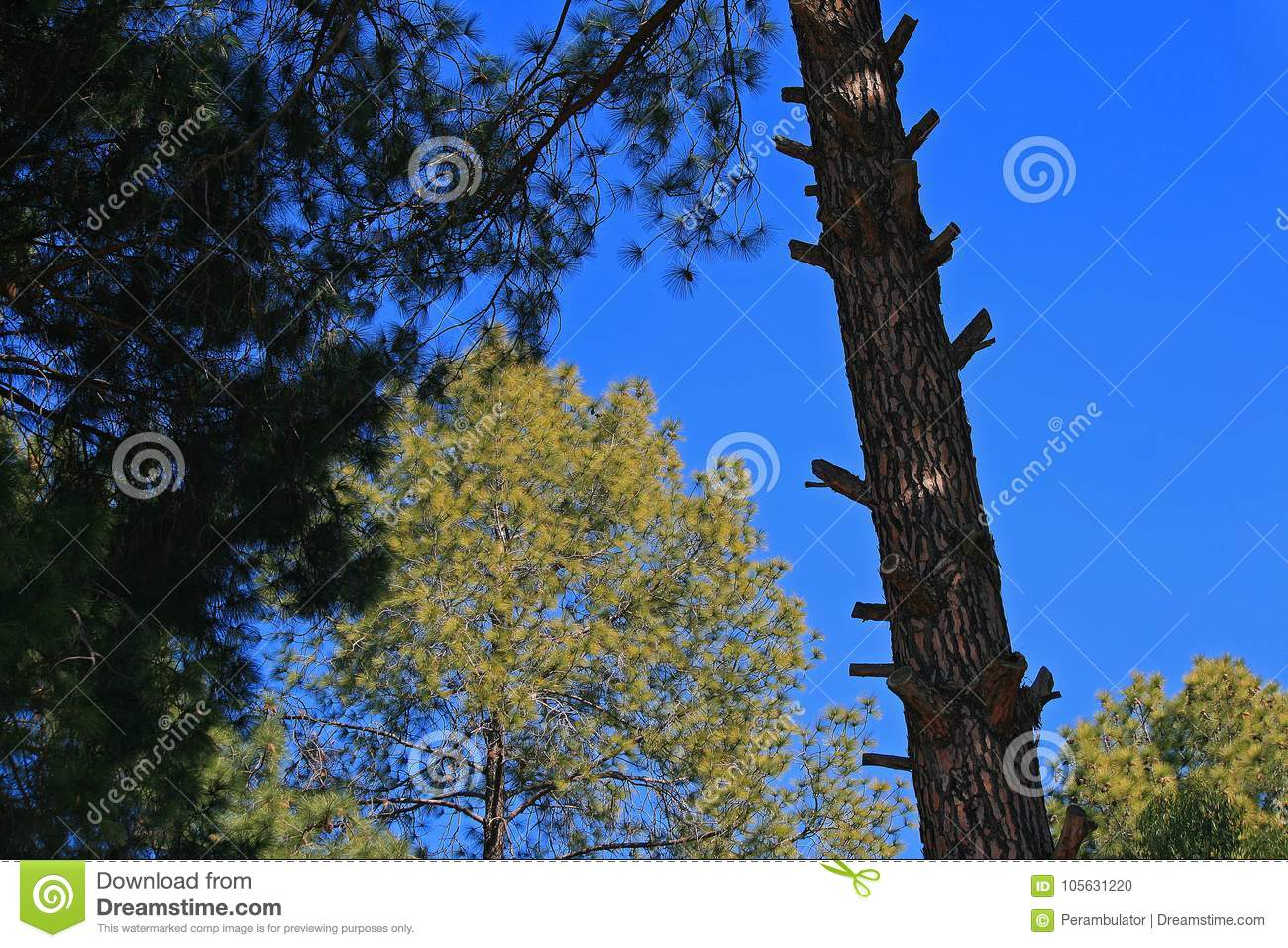 Slanted trunk of pine tree