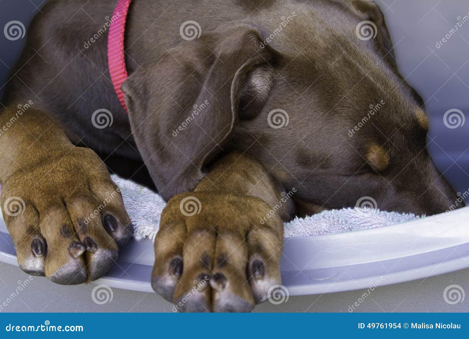Slaperig Doberman-Puppy