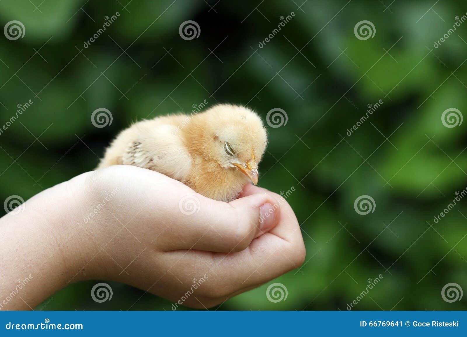 Slaperig weinig gele kip