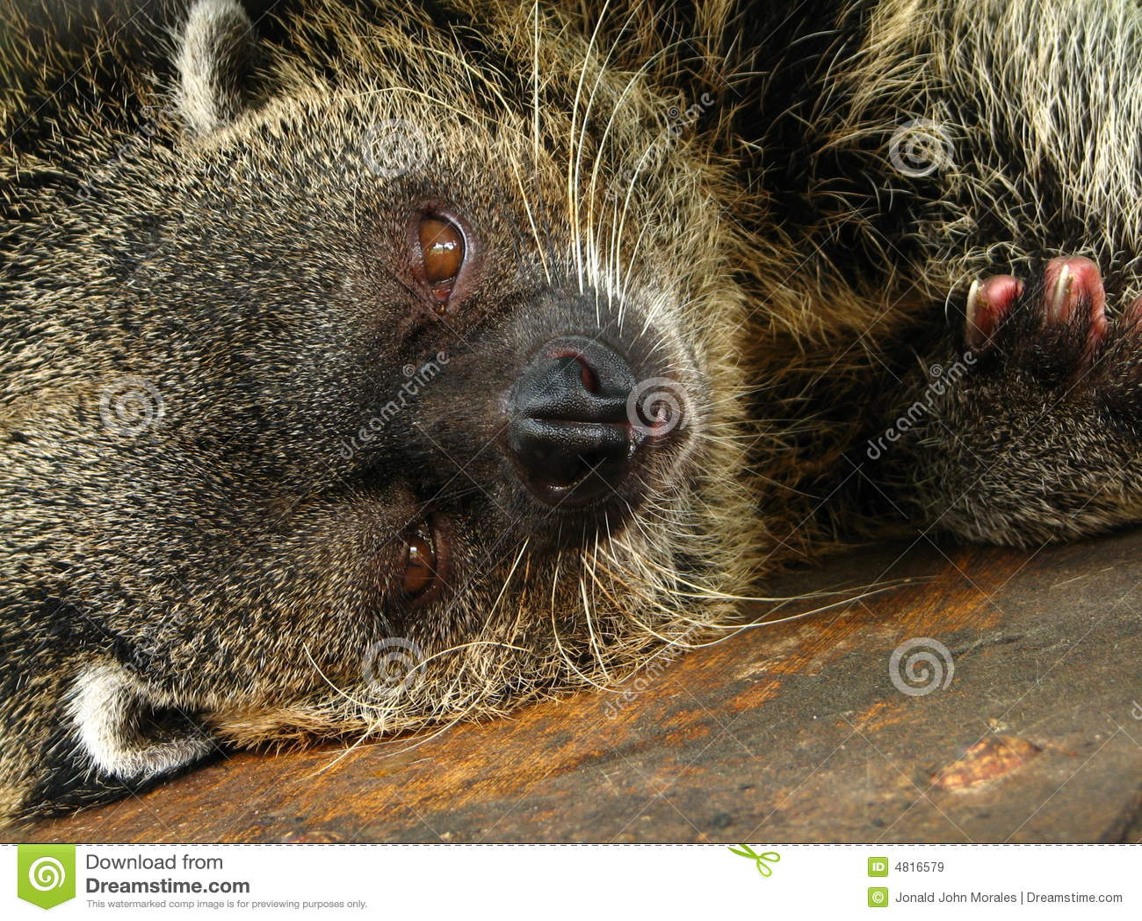 Slaperige Bearcat