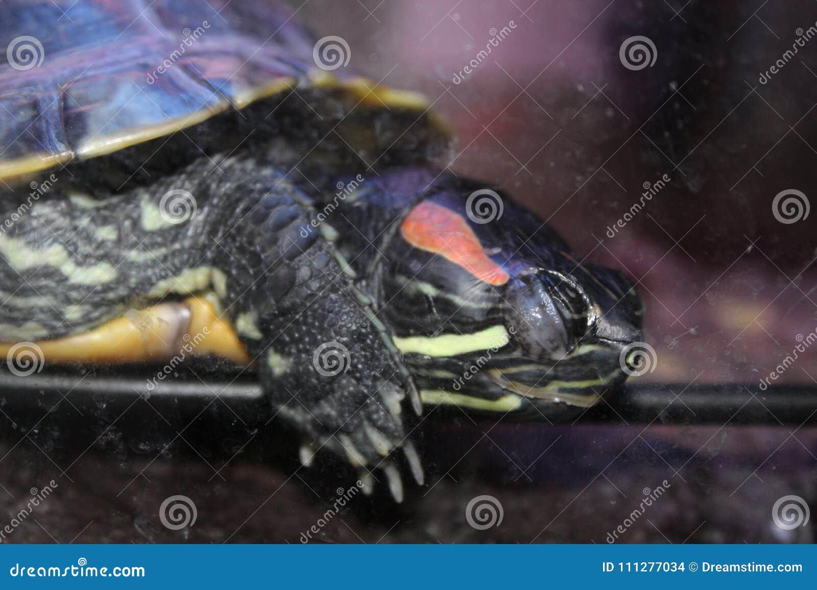 Slaperige Schildpad