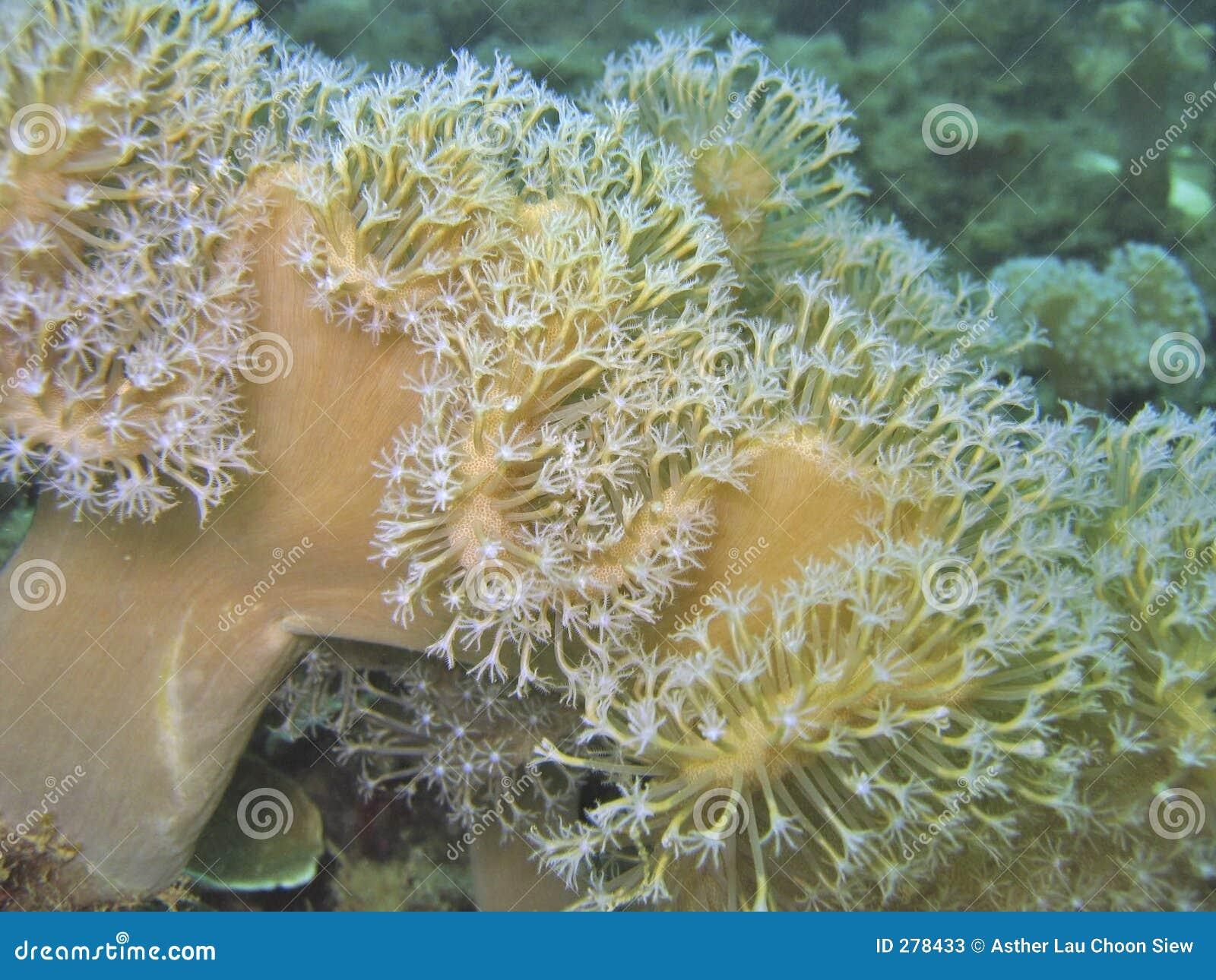 Slapp korallblomma