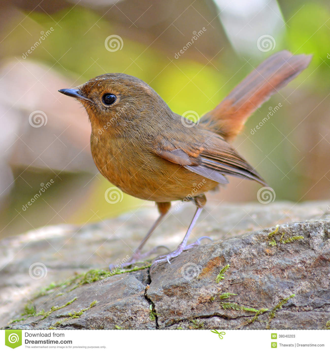 Flycatcher bird orange
