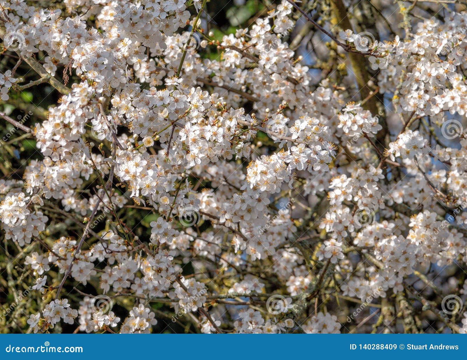 Sleedoornbloesem - Prunus-spinosa, Worcestershire, Engeland