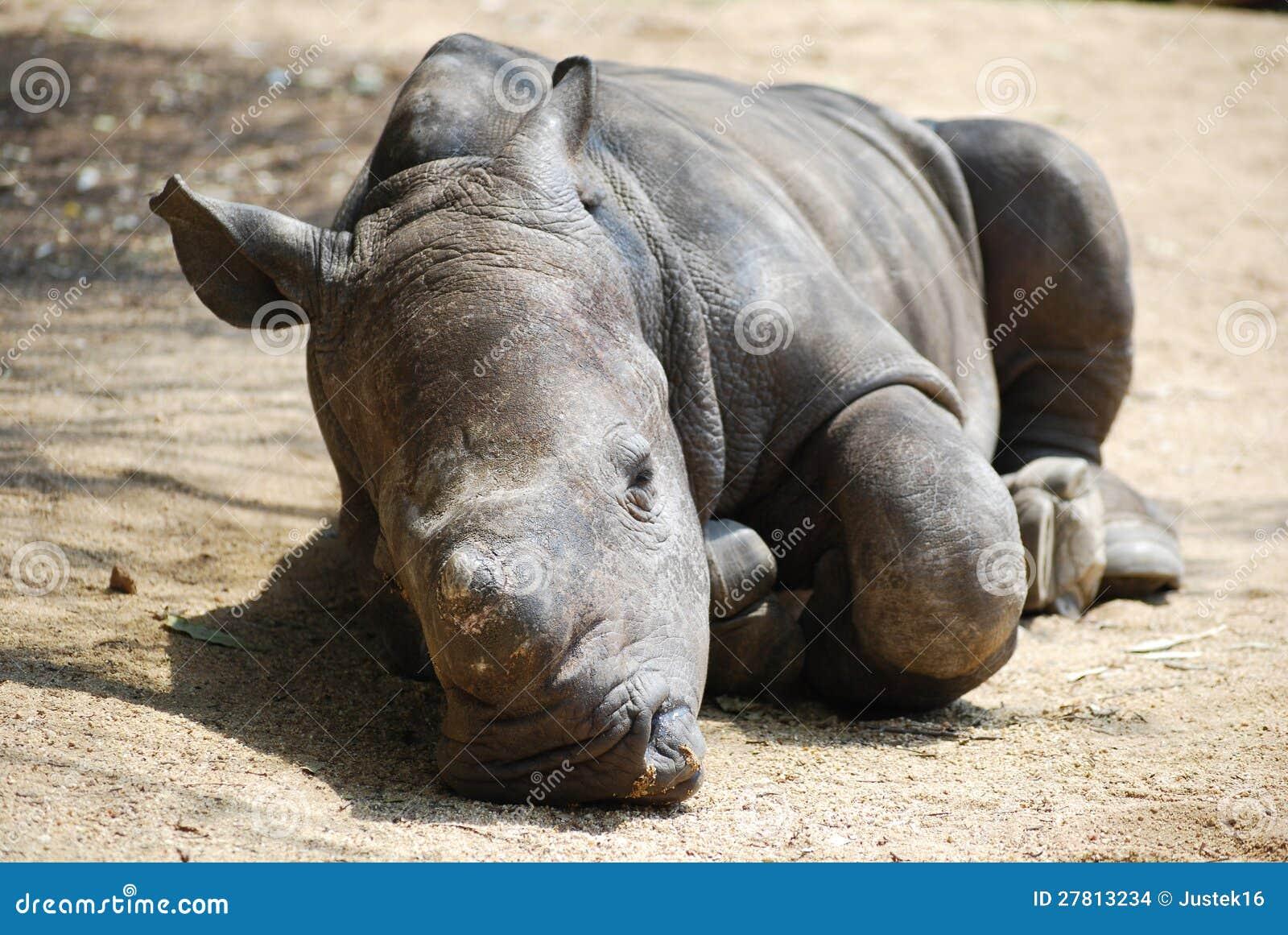 Rhino Sleeping Stock Photos, Royalty-Free Images & Vectors ...