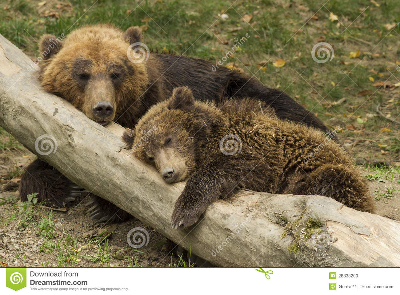 Cub sleeping on the trunk of a fallen tree beside mother bear.