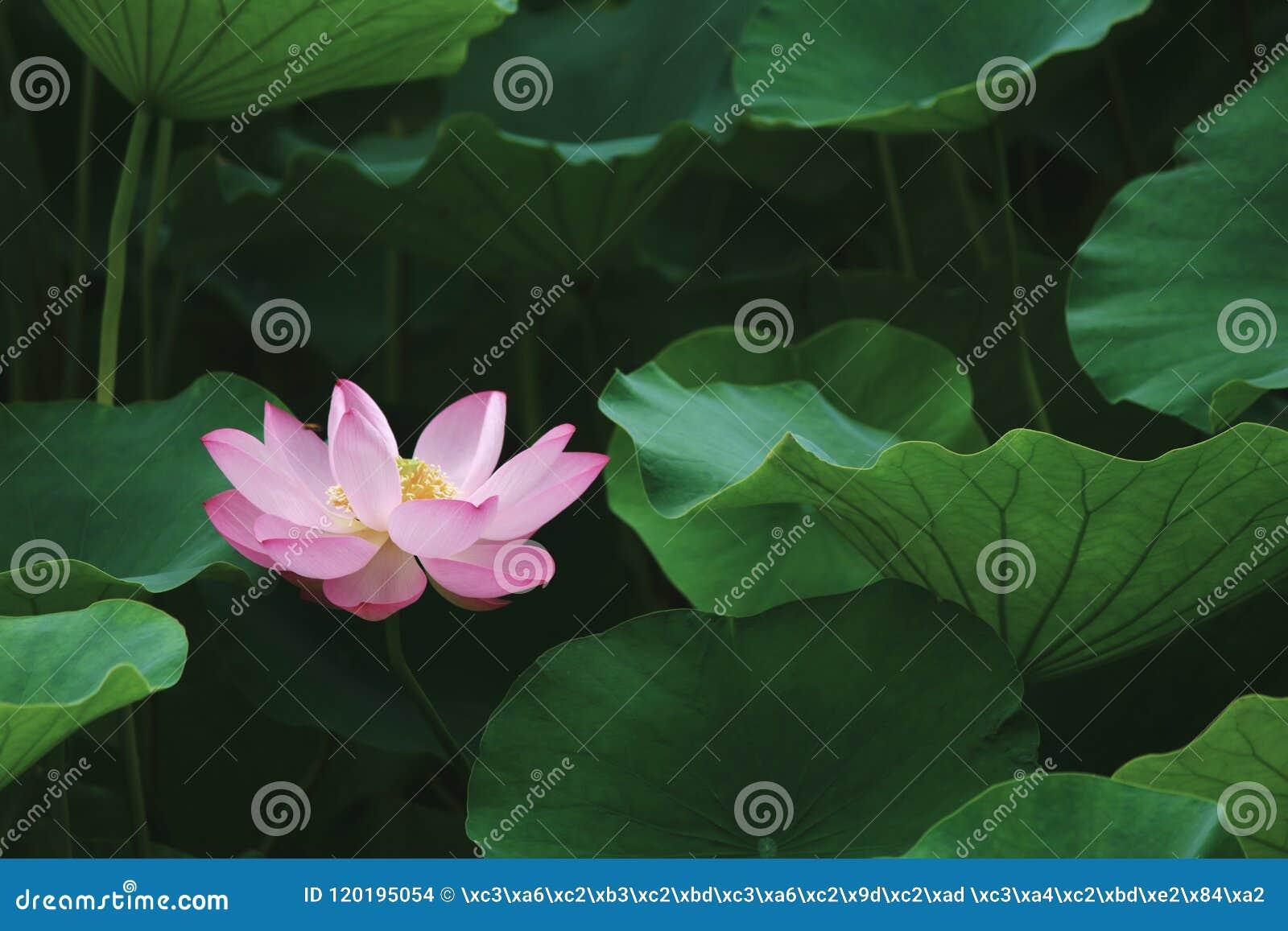 Sleeping beauty like lotus stock photo image of slightly 120195054 sleeping beauty like lotus izmirmasajfo
