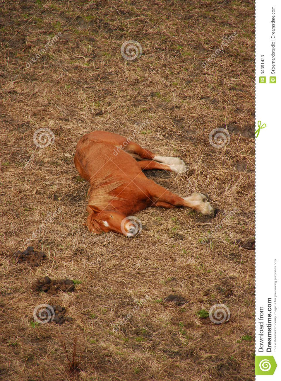 Download A Sleeping Brown Horse stock image. Image of altitude - 34391423