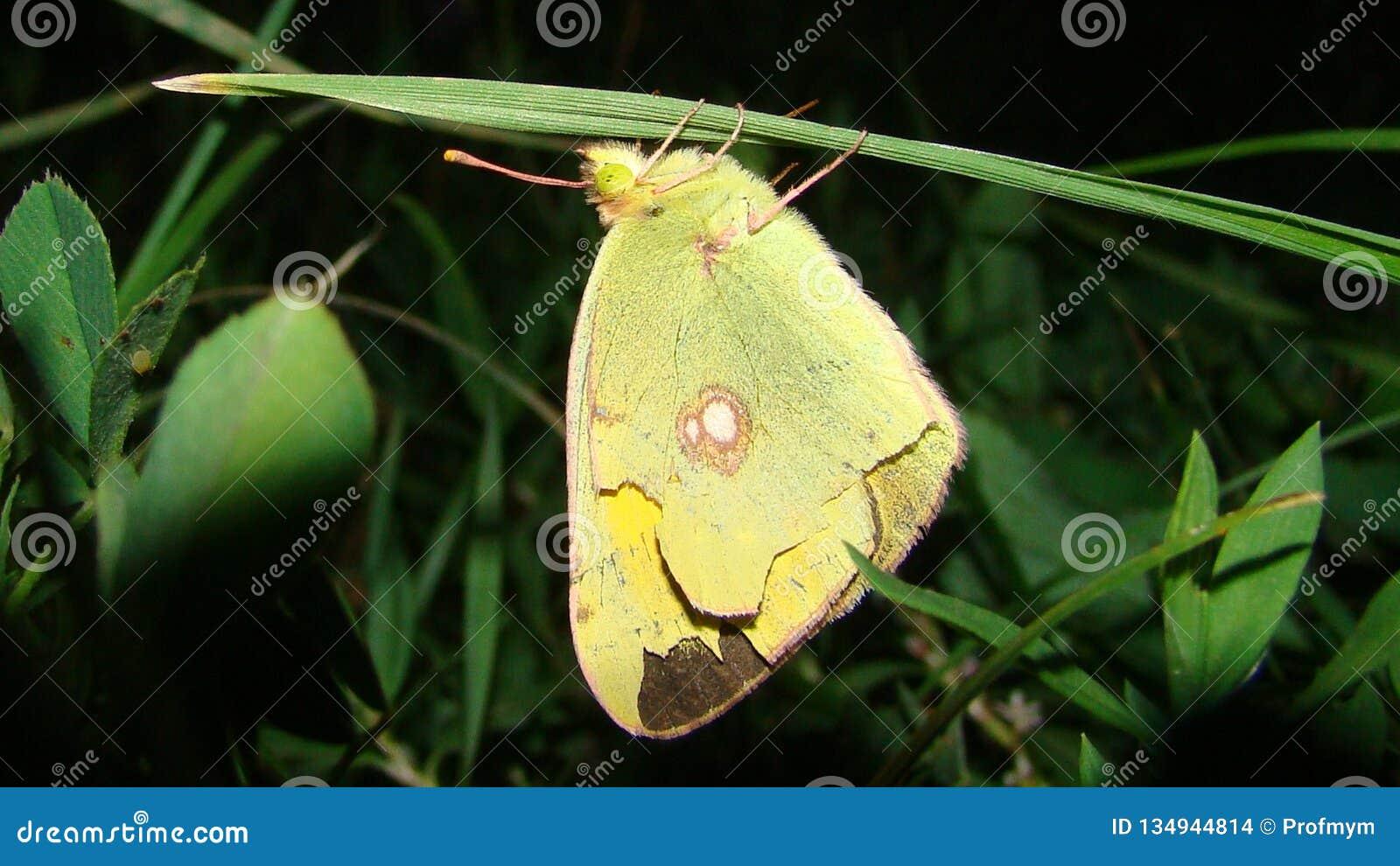 Sleeping Butterfly Night Stock Photo Image Of Beautifully 134944814